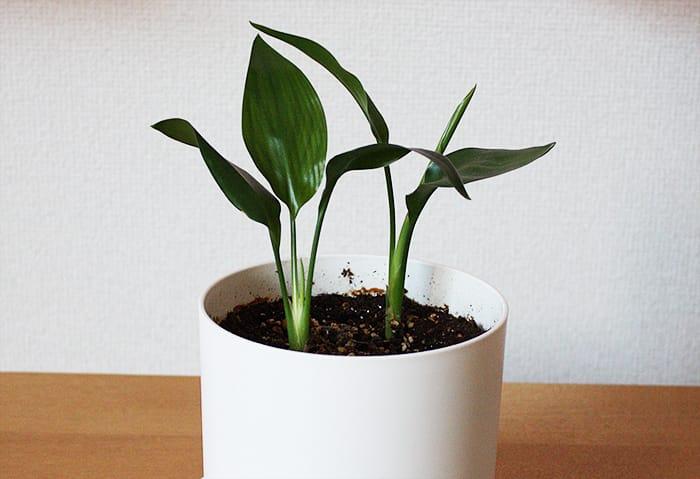 種から育てたストレリチア・レギネ