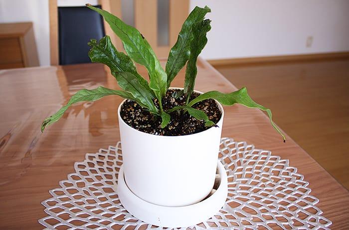 観葉植物の植え替え クロコダイルファーン