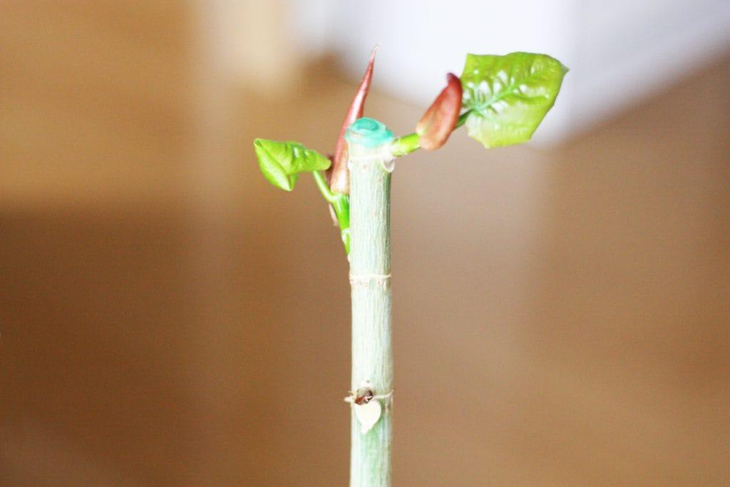 ウンベラータの新芽