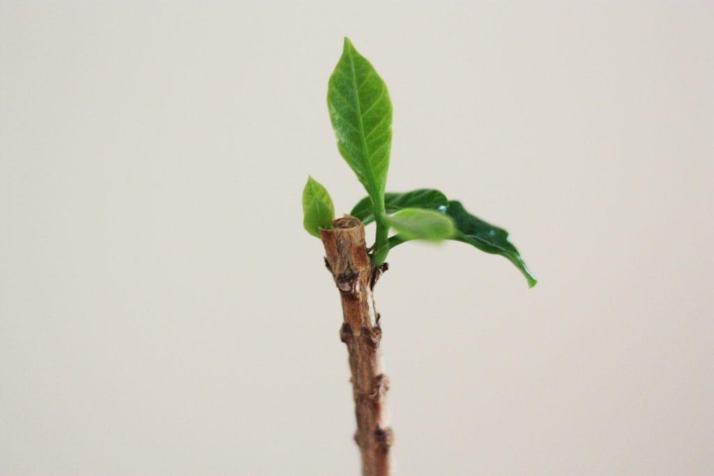 観葉植物の剪定、1ヶ月でコーヒーの木に新芽