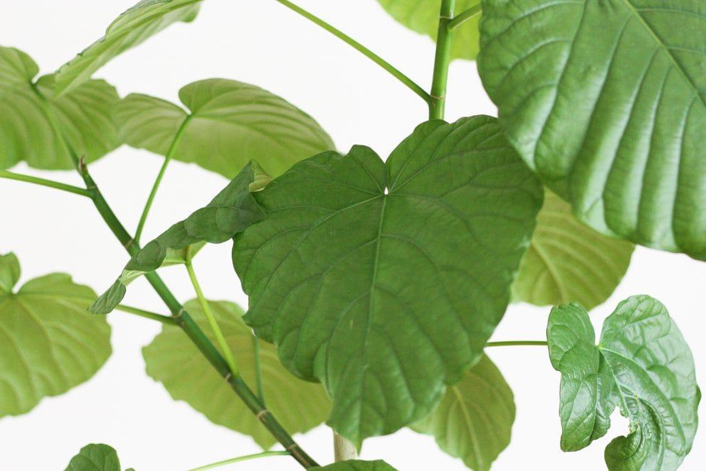観葉植物の剪定 ウンベラータ