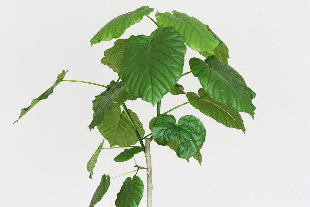 観葉植物の剪定 7月のウンベラータ