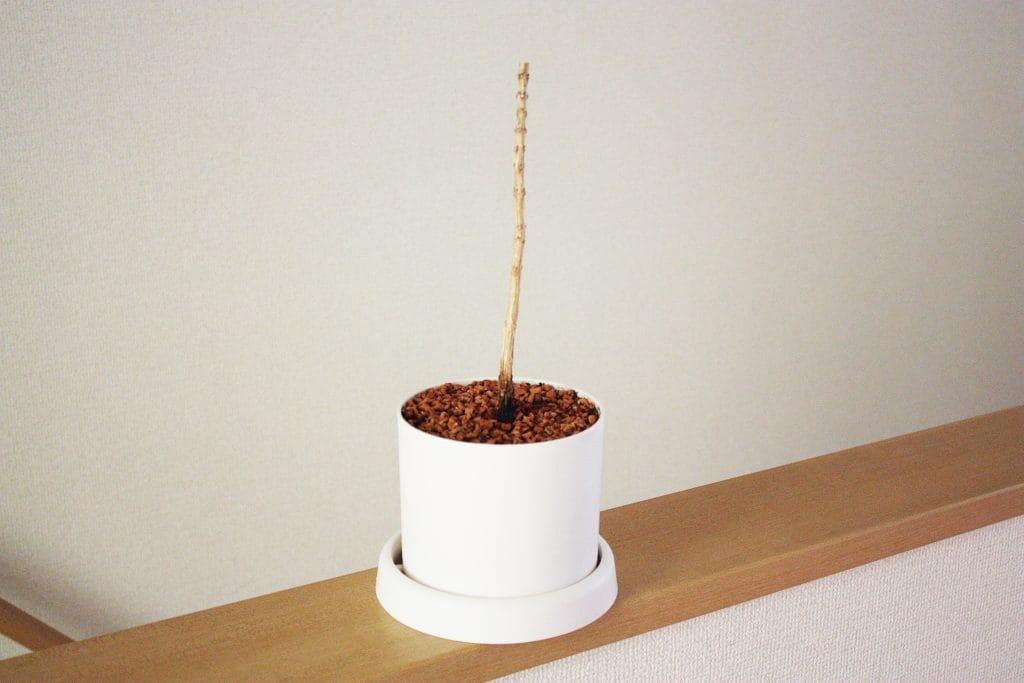 観葉植物の剪定 6月のコーヒーの木