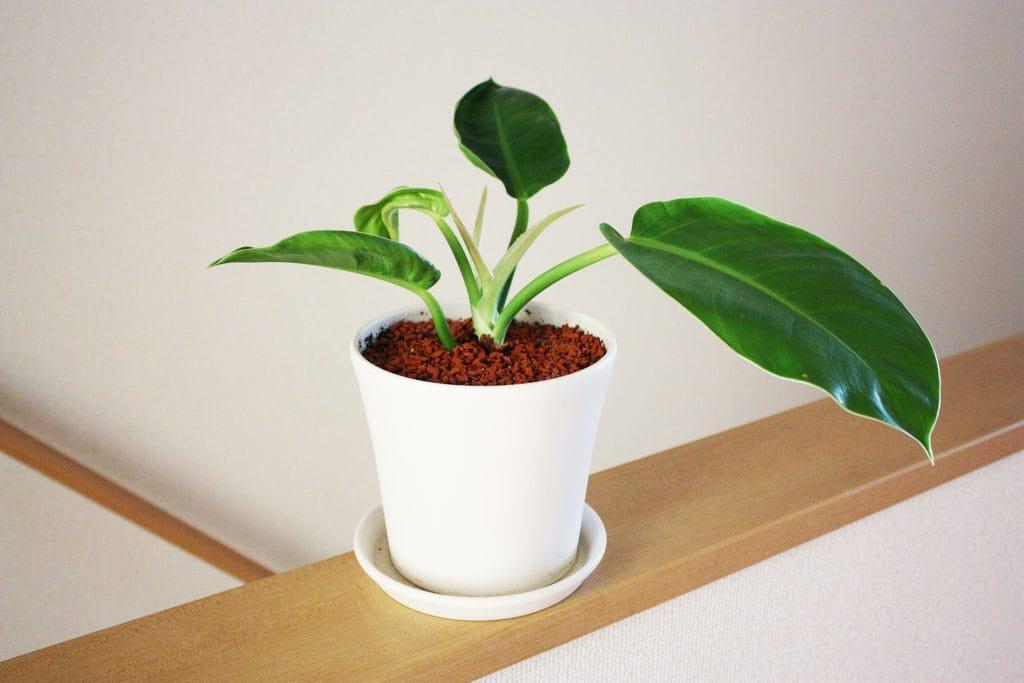 観葉植物の植え替えフィロデンドロン・インペリアルゴールド